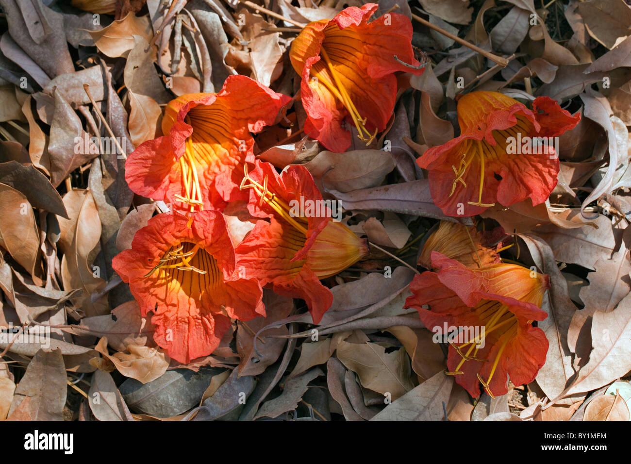 Fallen flame tree flowers, Fernandoa magnifica, and dried leaves in Selous Game Reserve. - Stock Image