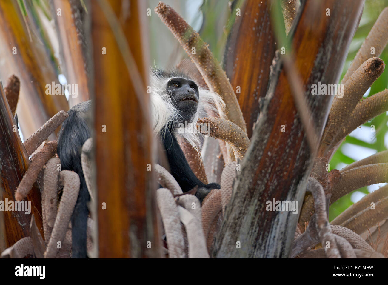 An Angola Pied Colobus feeding in a Raffia palm in Selous Game Reserve. - Stock Image