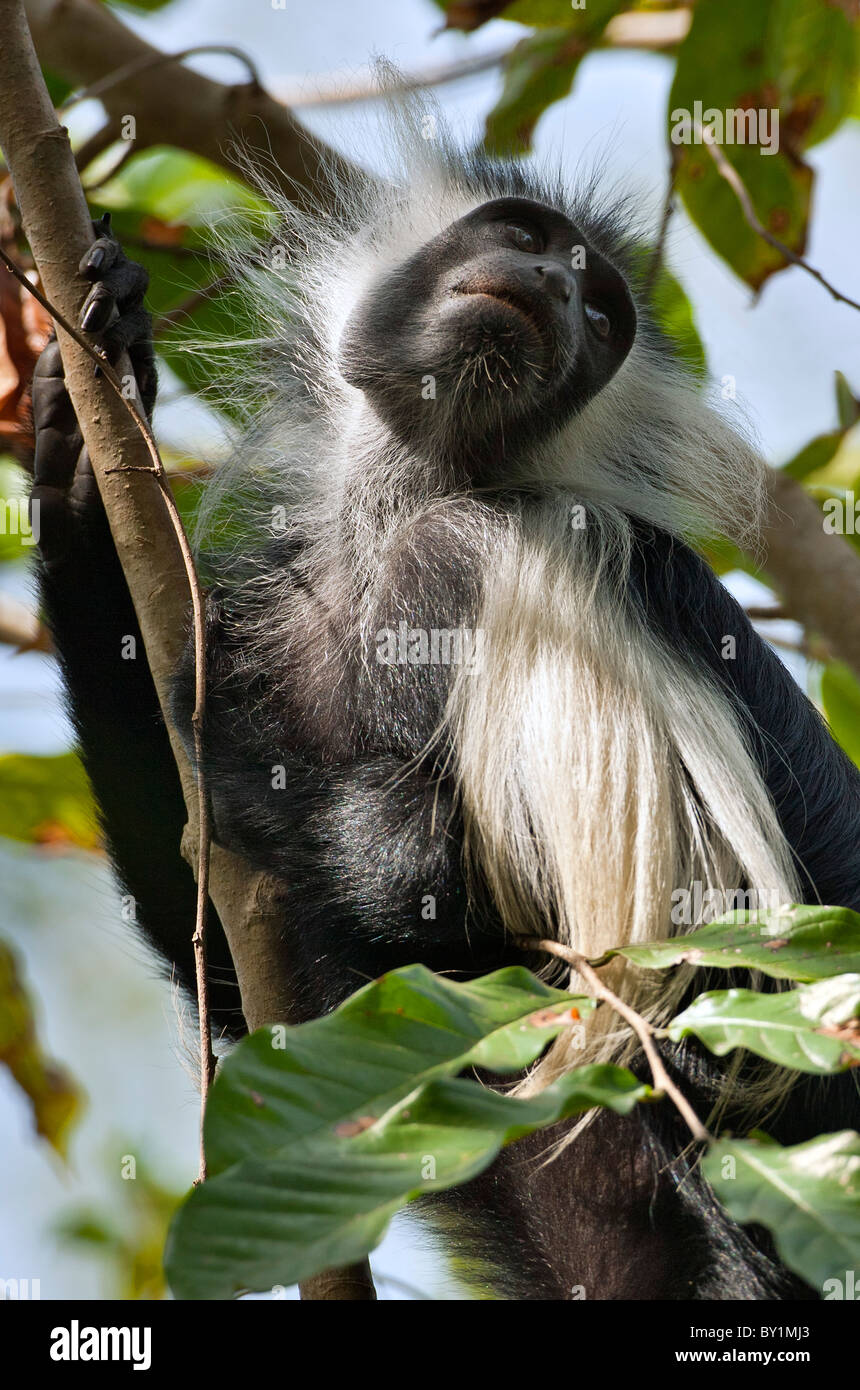 An Angola Pied Colobus in Selous Game Reserve. - Stock Image