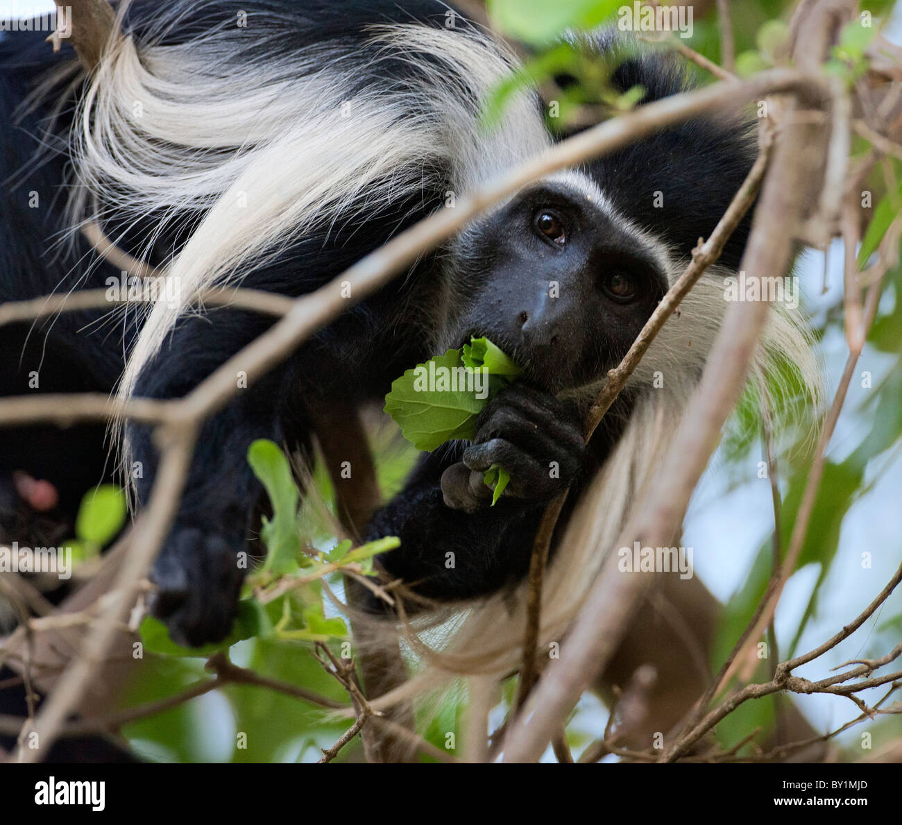 An Angola Pied Colobus feeding on leaves in Selous Game Reserve. - Stock Image