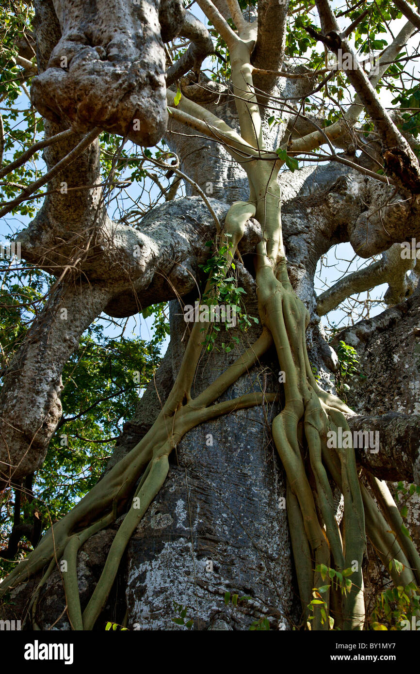 Roots of a strangler fig tree climb up the trunk of a baobab tree like tentacles.  Fig seeds will have been brought - Stock Image