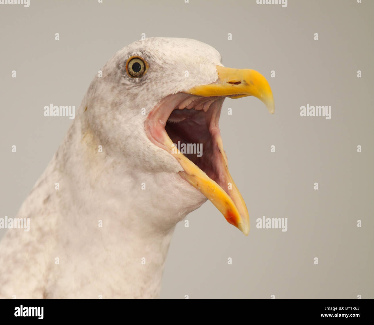 A Western Gull calling loudly. - Stock Image