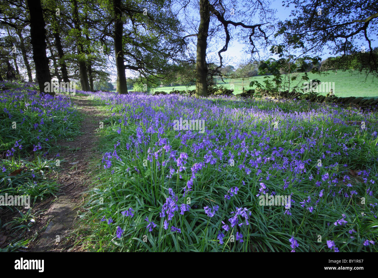 A path through a Bluebell Wood in Charnwood Forest, Leicestershire - Stock Image