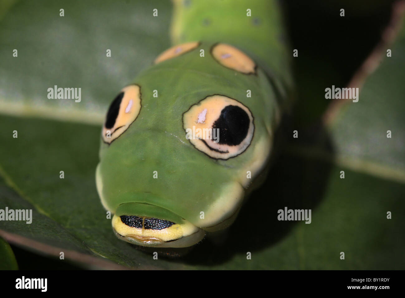 Spicebush Swallowtail caterpillar Snake mimic fake eye spots - Stock Image