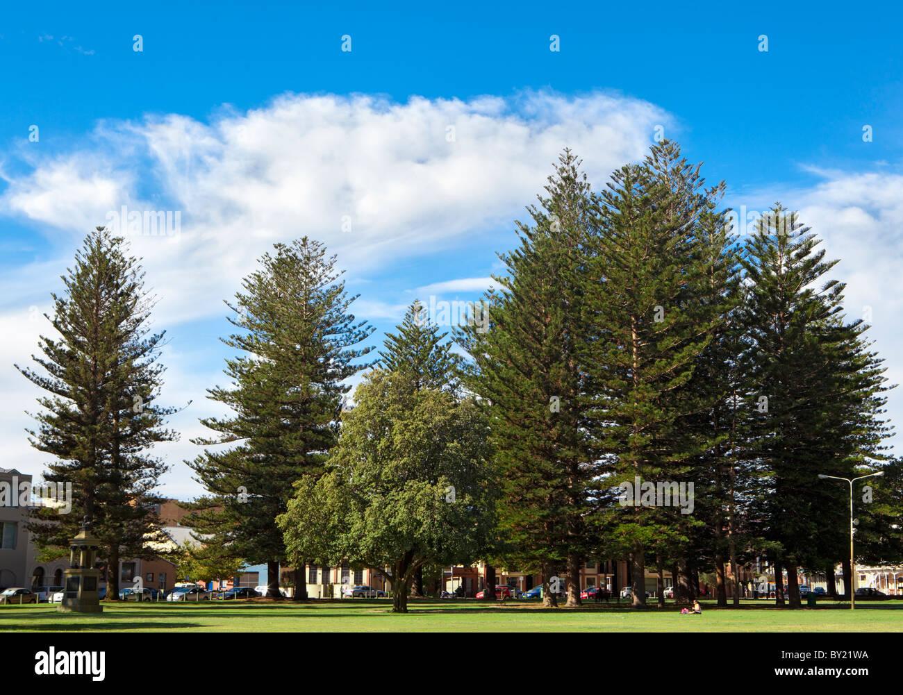 Norfolk Island Pines (Araucaria heterophylla) growing in The Esplanade Park in Fremantle, Perth, Western Australia - Stock Image