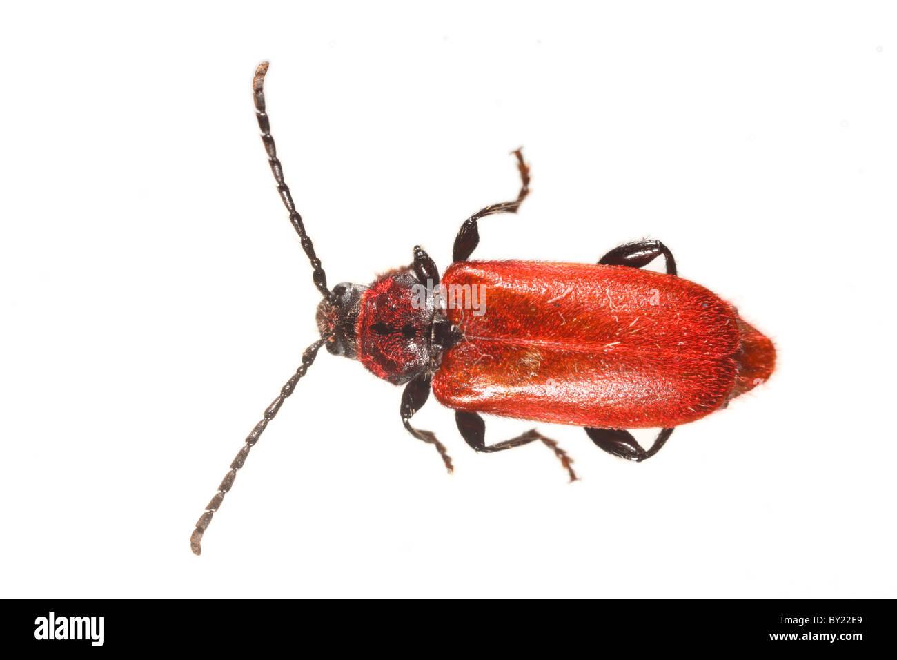 Welsh Oak Longhorn beetle (Pyrrhidium sanguineum). Powys, Wales. - Stock Image