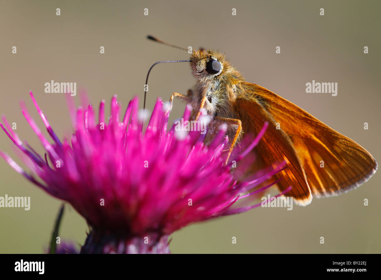Large Skipper butterfly (Ochlodes venatus) feeding on a Mrsh Thistle flower. Powys, Wales. Stock Photo