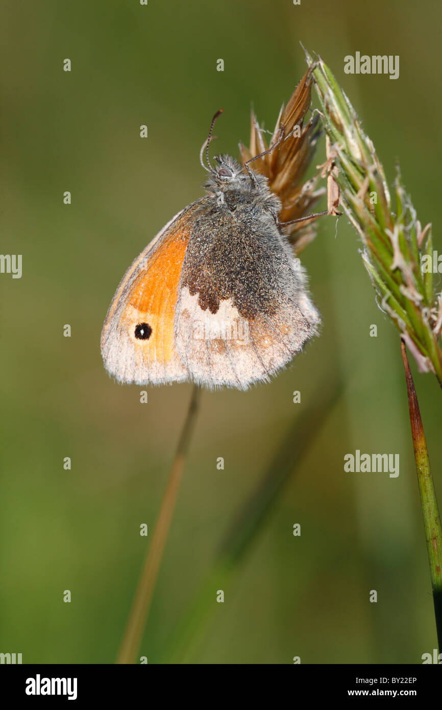 Small Heath Butterfly (Coenonympha pamphilus). Powys, Wales. - Stock Image