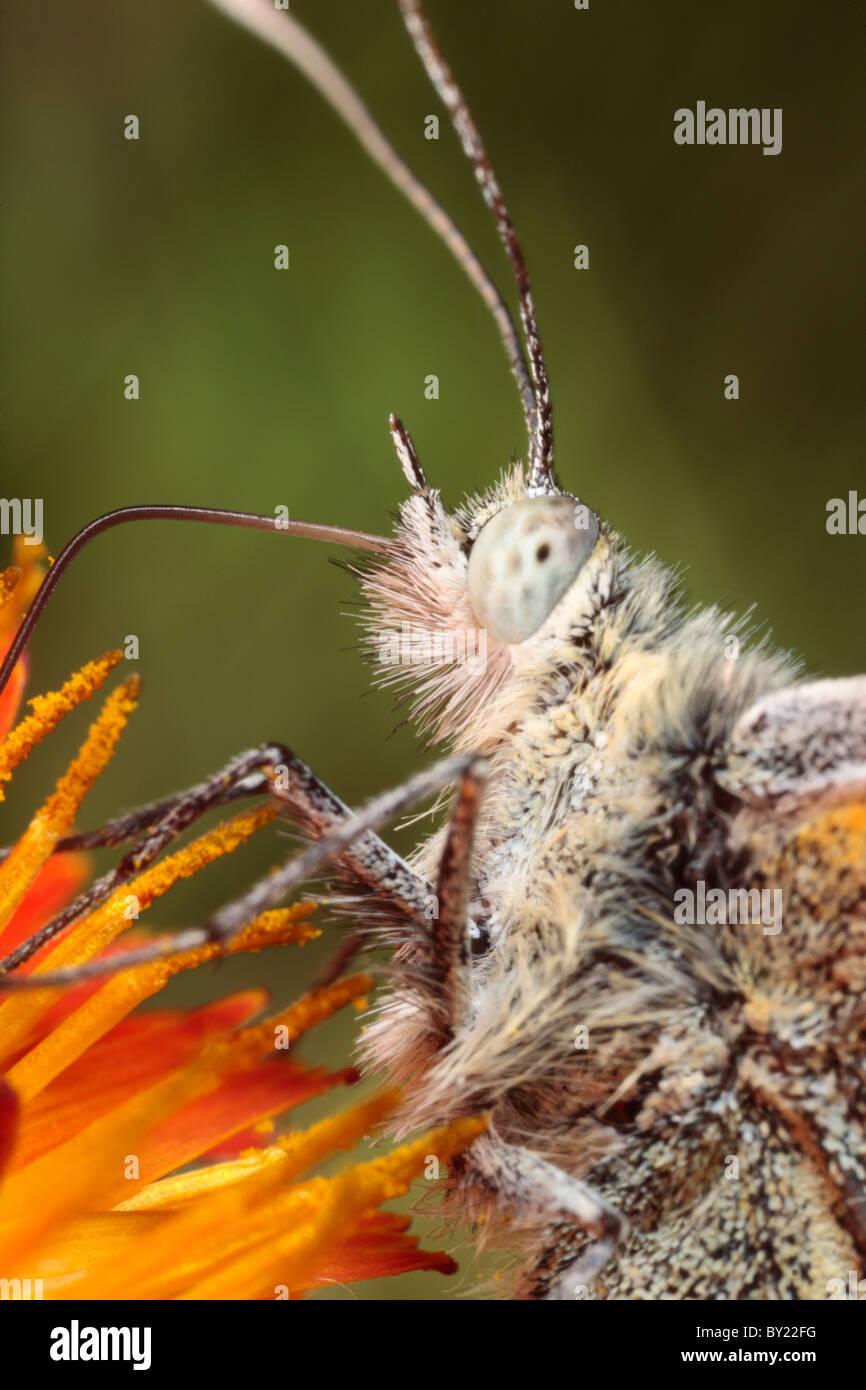 Green-veined White butterfly (Pieris napi) feeding on Orange Hawkbit. Powys, Wales. - Stock Image
