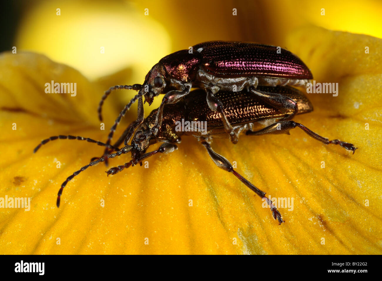 Mating leaf beetles Donacia vulgaris on a Yellow Flag Iris flower. Powys, Wales. - Stock Image