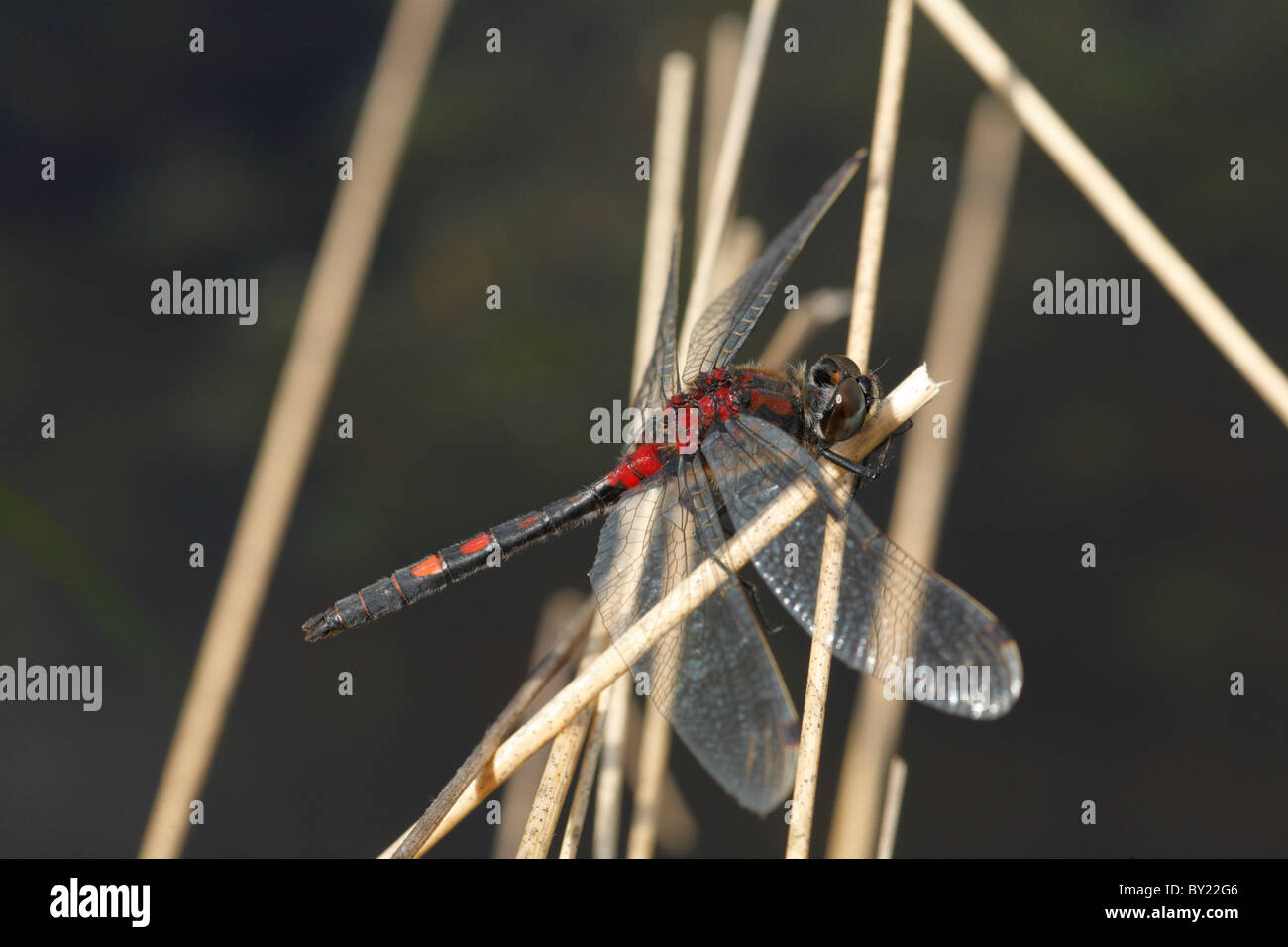 Male White-faced Darter Dragonfly (Leucorrhinia dubia). Whixall Moss National Nature Reserve, Shropshire, England. - Stock Image