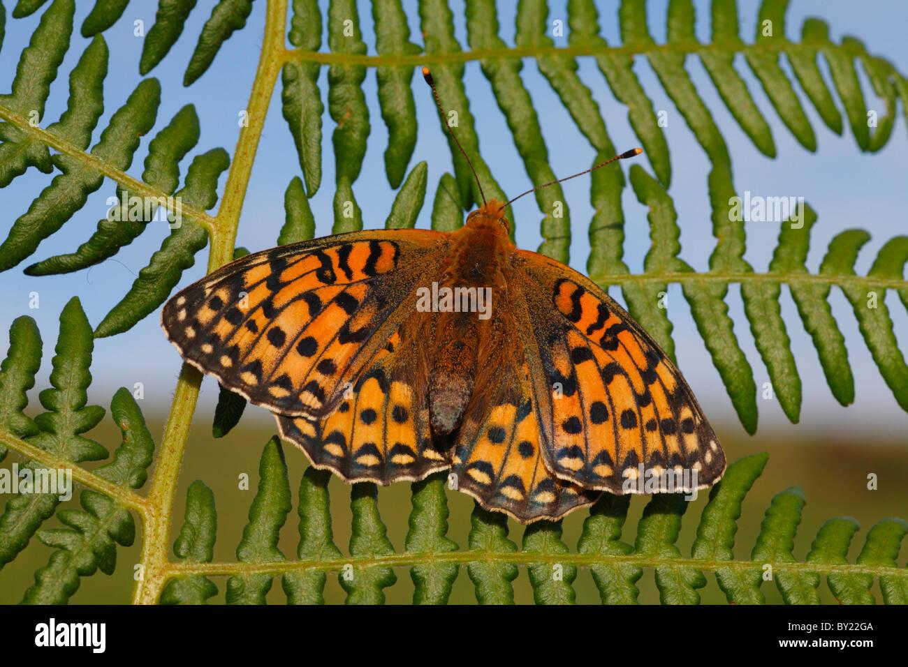 Female Dark Green Fritillary Butterfly (Argynnis aglaja) basking in early morning sunshine. Powys, Wales, UK. - Stock Image
