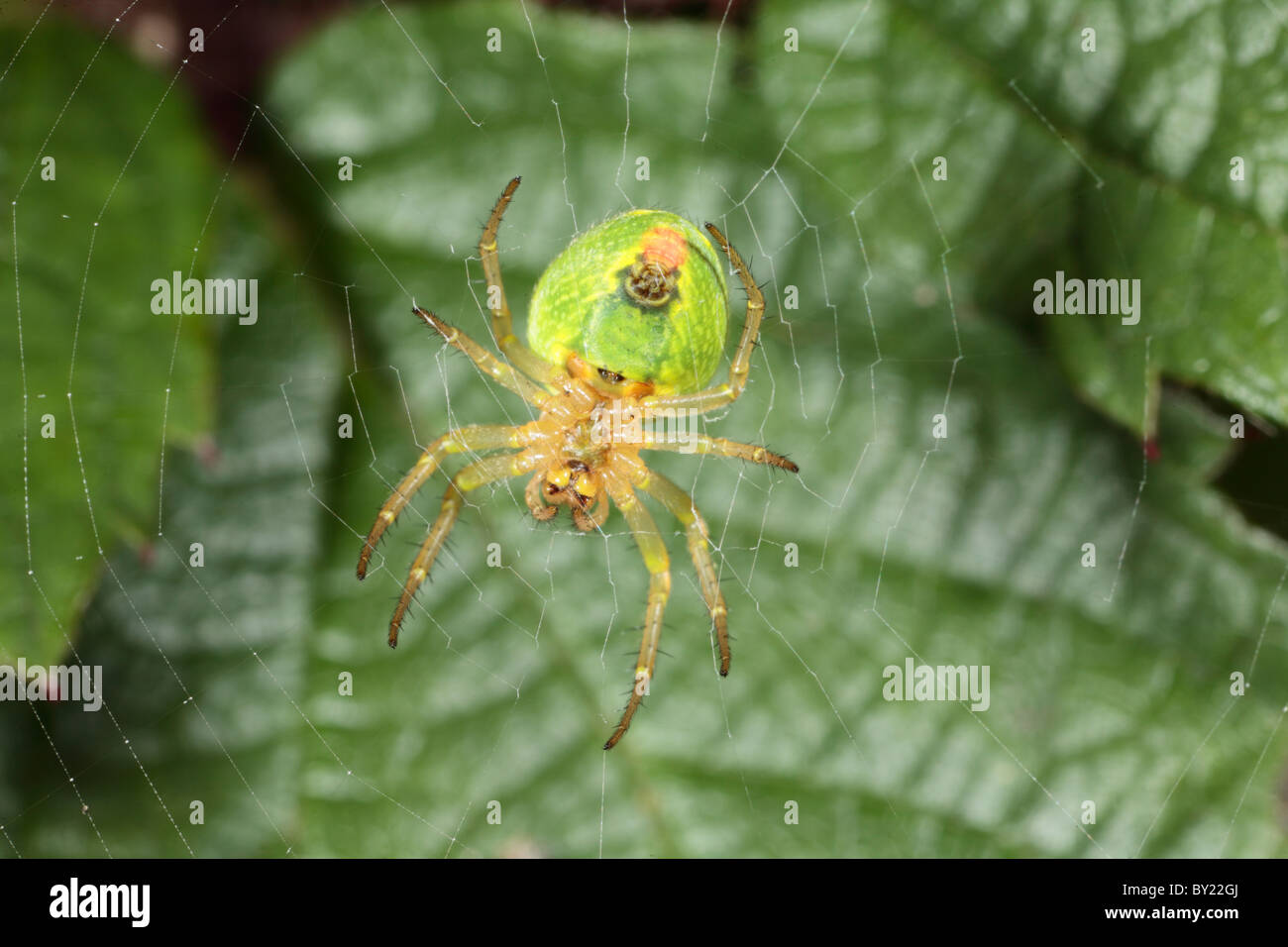 Cucumber spider (Araniella cucurbitina) in usual position hanging on the underside of her web. Powys, Wales. - Stock Image