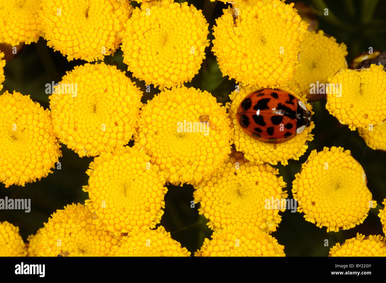 Harlequin Ladybird (Harmonia axyridis) on wild Tansy, introduced pest species. Powys, Wales. - Stock Image
