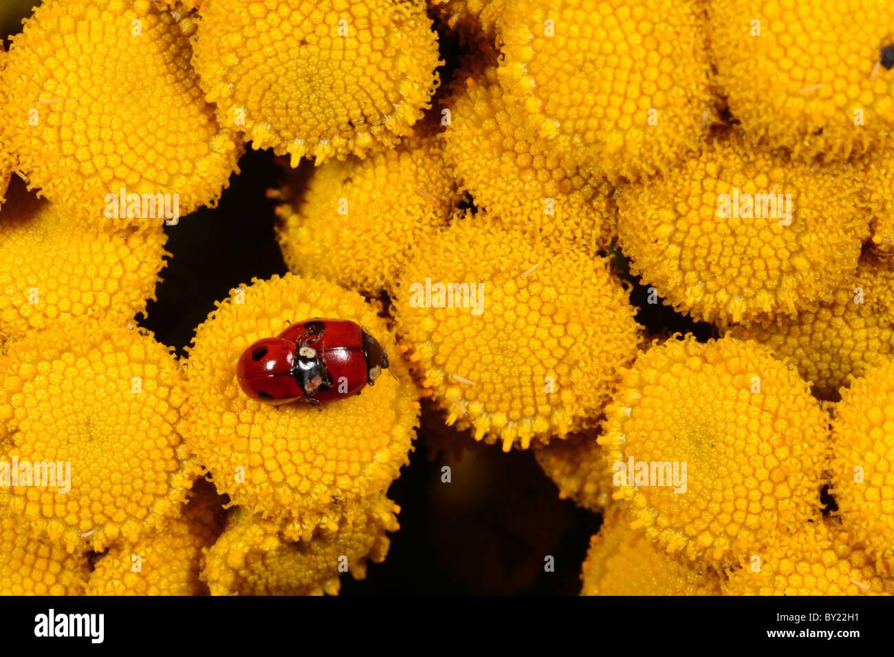 Mating 2-spot Ladybirds (Adalia bipunctata) on wild Tansy. Powys, Wales. - Stock Image