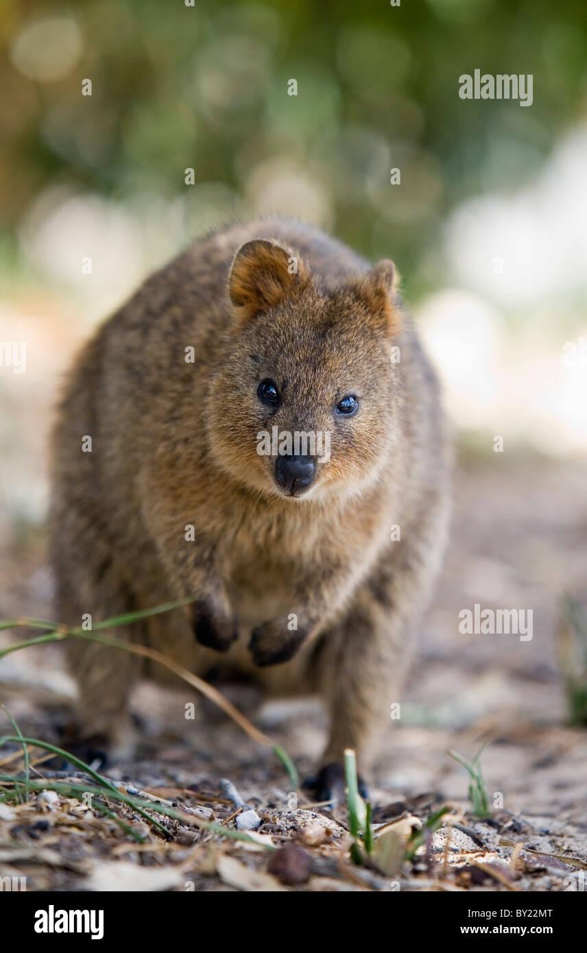 Marsupial Quokka Small Marsupial...