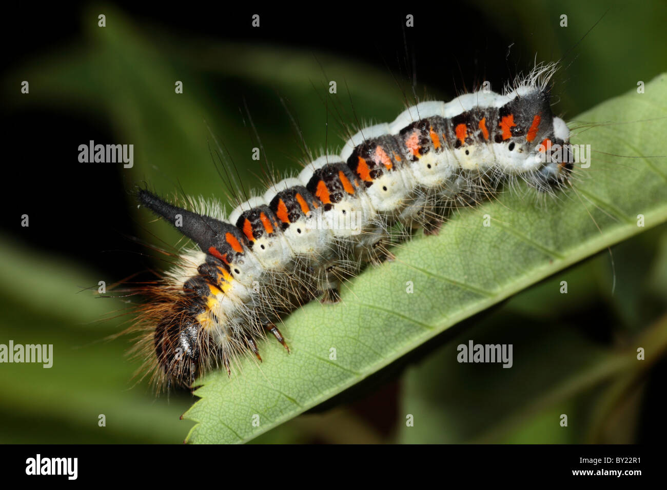 Larva of a Grey Dagger moth (Acronicta psi) on a rose leaf. Powys, Wales. Stock Photo