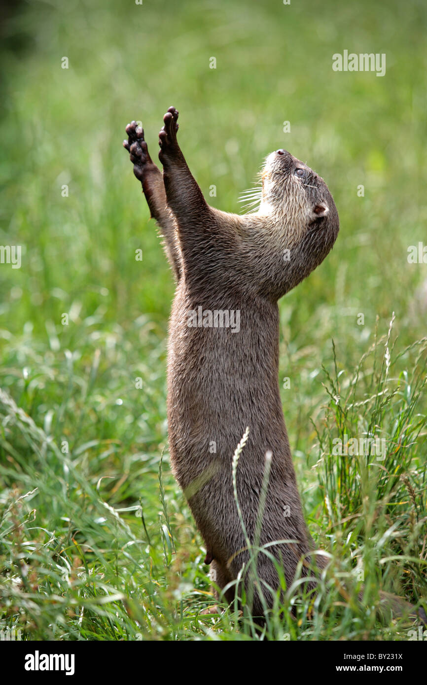 England, Cornwall, Tamar Otter & Wildlife Centre. Asian short-clawed otter begging for food. Stock Photo
