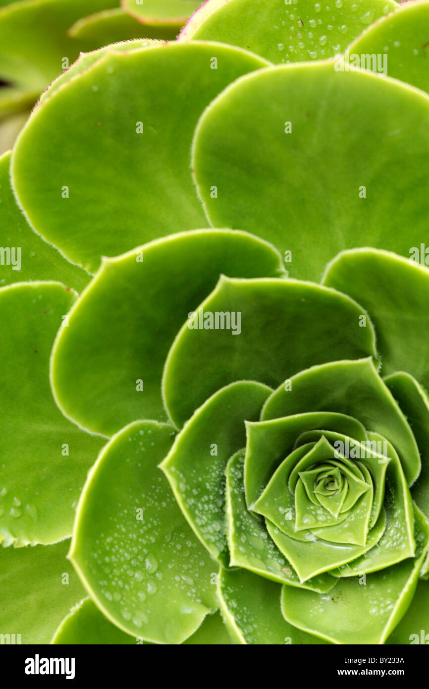 England, Isles of Scilly, Tresco, Abbey Garden. Detail of rosette leaves of a variety of Aeonium. - Stock Image