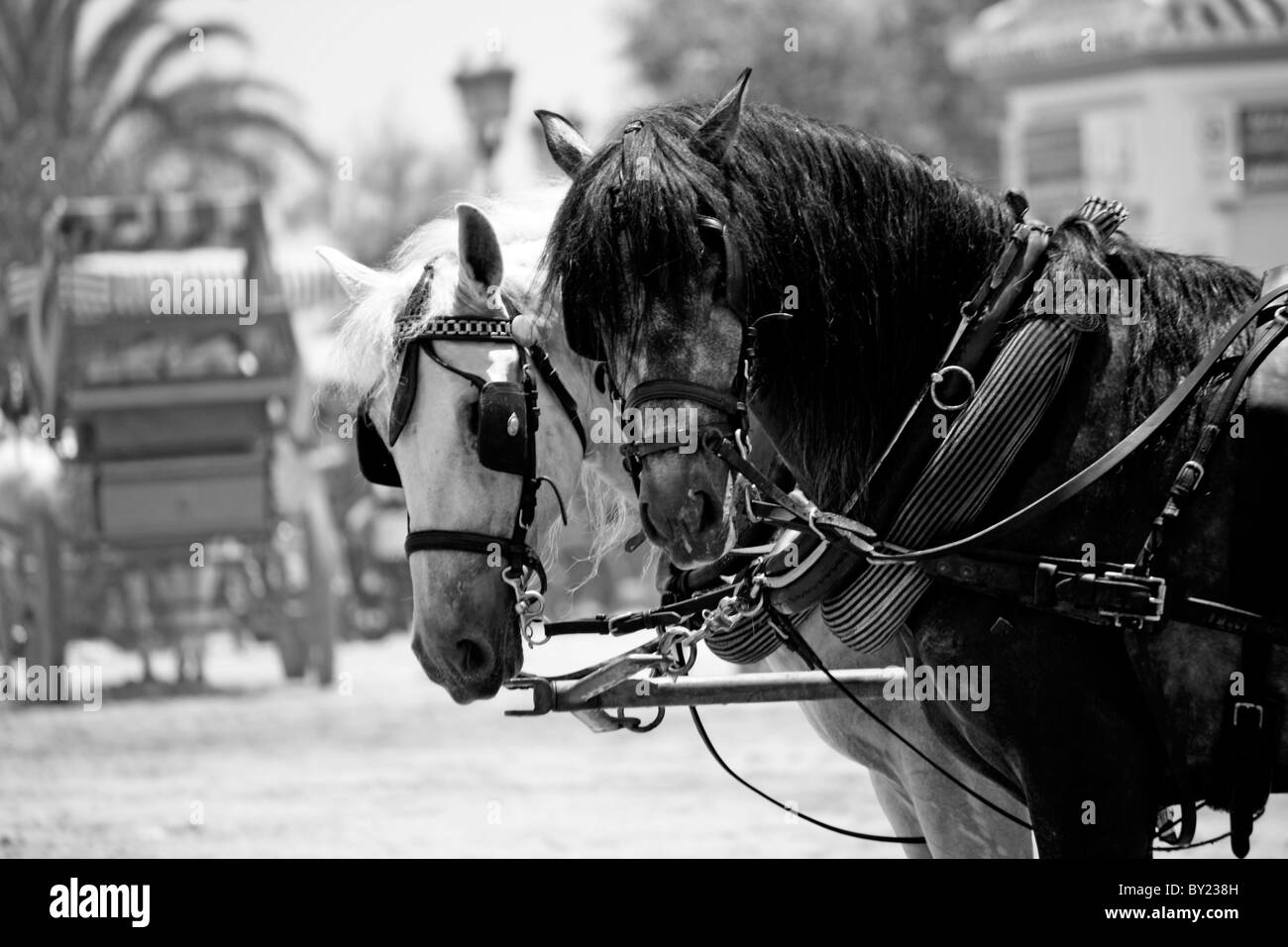 View of two horses watching the camera on the El Rocio festivity on Spain. - Stock Image