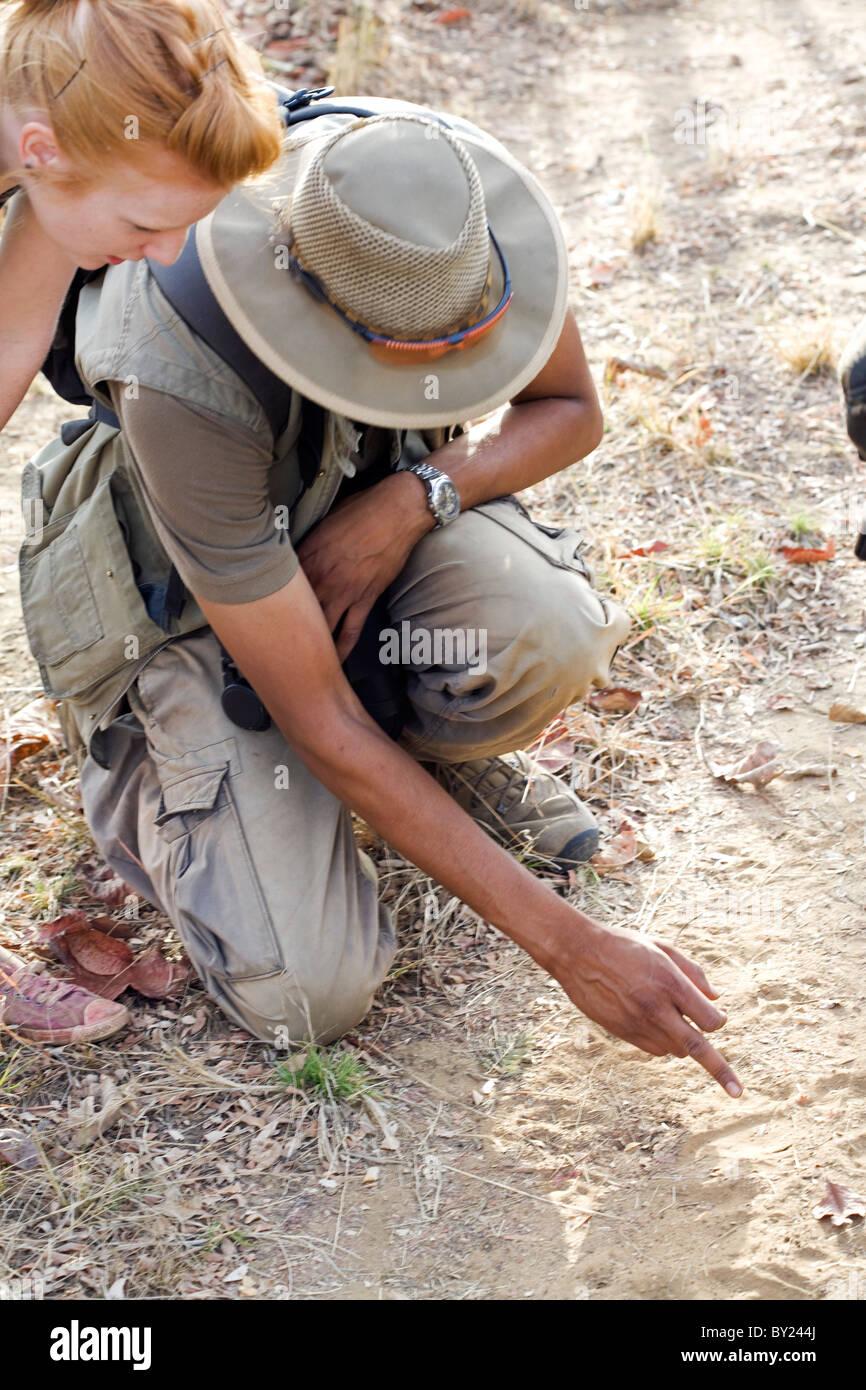 India, Madhya Pradesh, Satpura National Park. Guide points out sloth bear tracks on a walking safari. - Stock Image