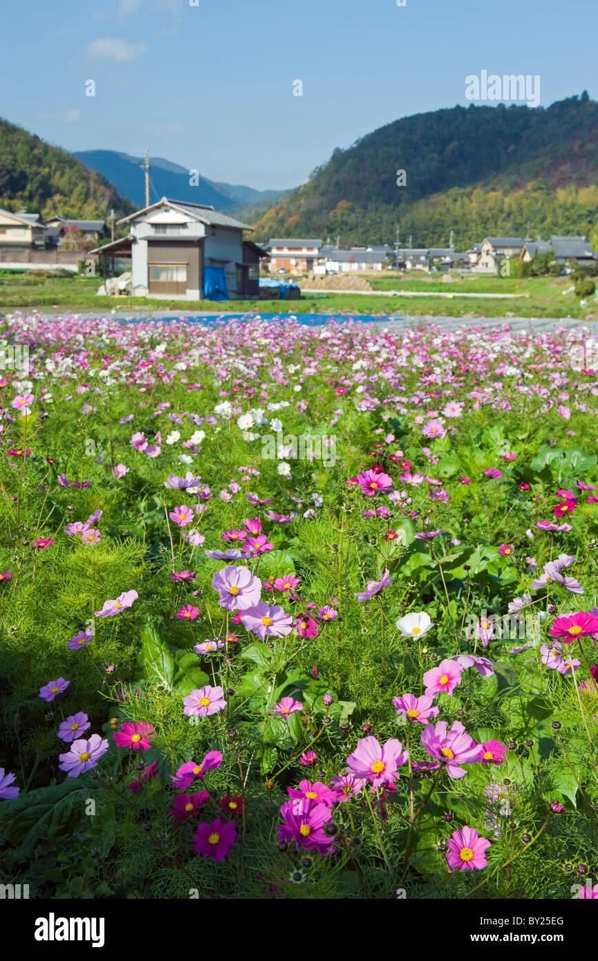 Asia, Japan. Kyoto, Sagano, Cosmos flowers - Stock Image