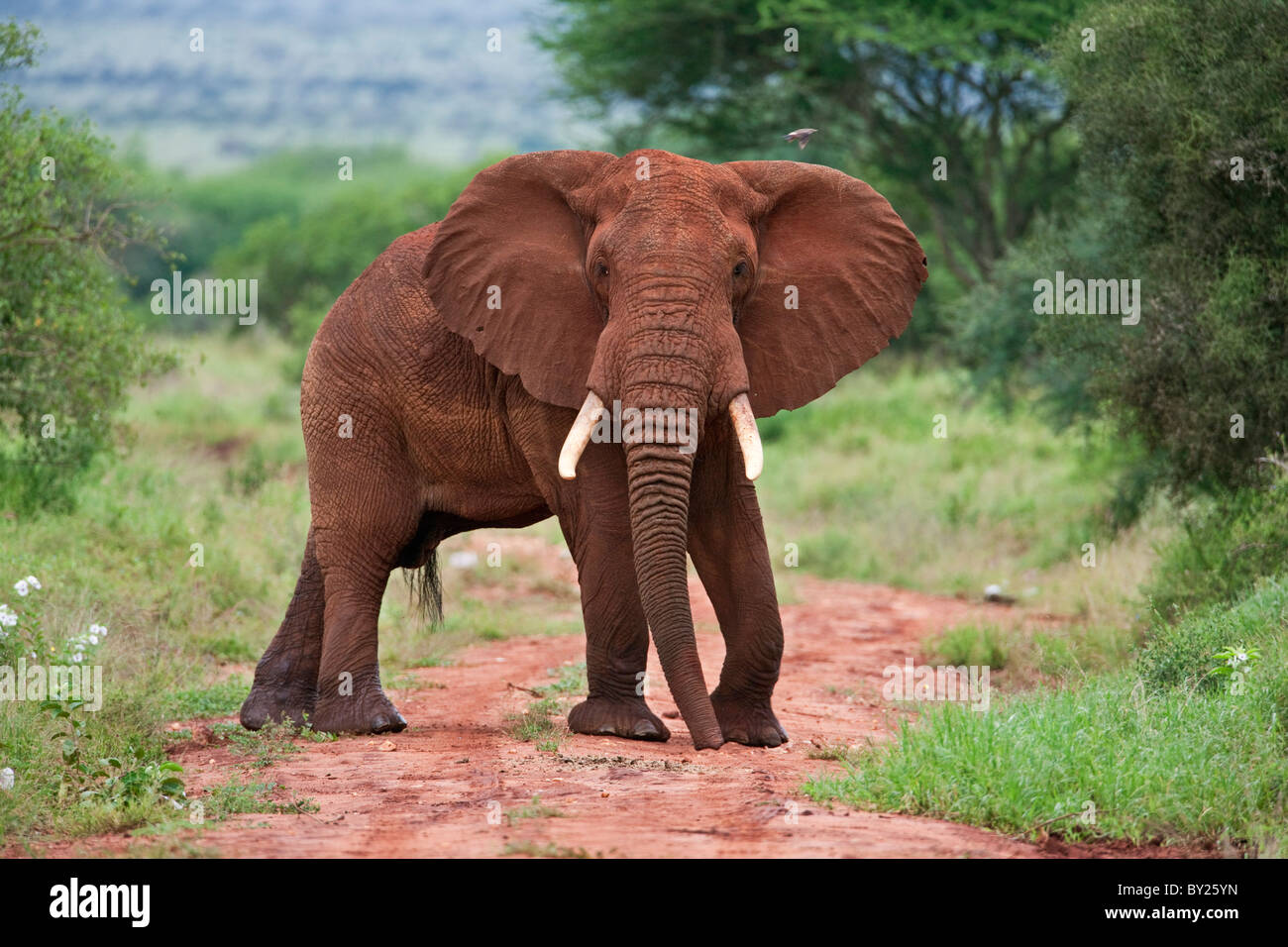 An elephant covered in red dust blocks a track in Kenya  s Tsavo West National Park. - Stock Image