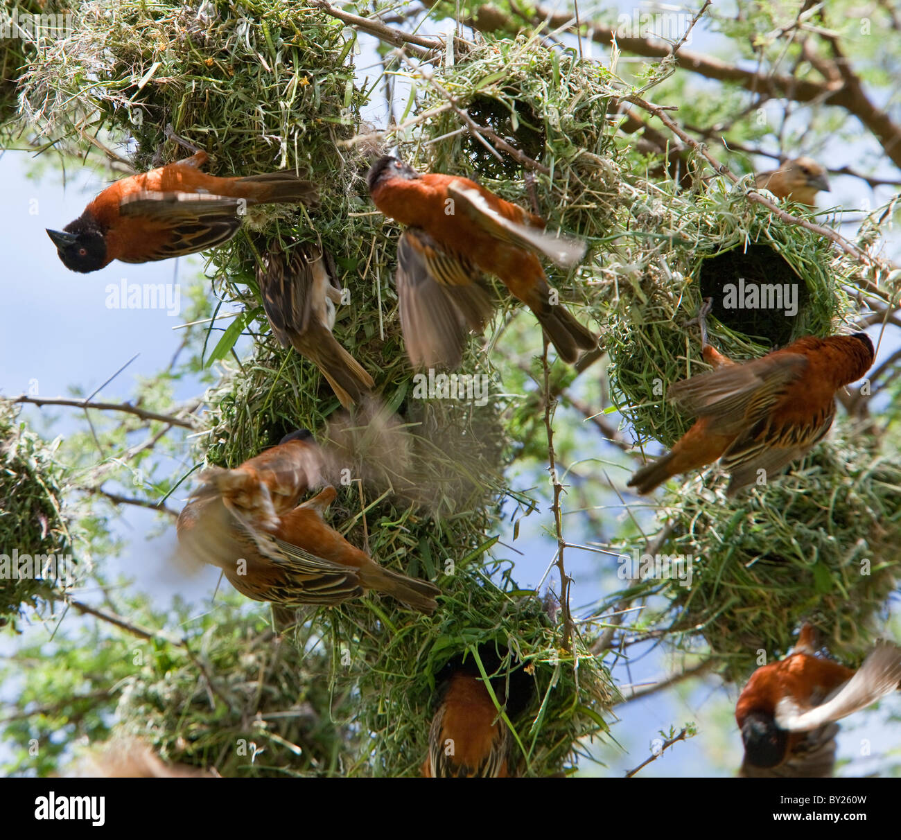 Chesnut weavers build their nests in close proximity to each other in an acacia tree on the plains of Tsavo West - Stock Image
