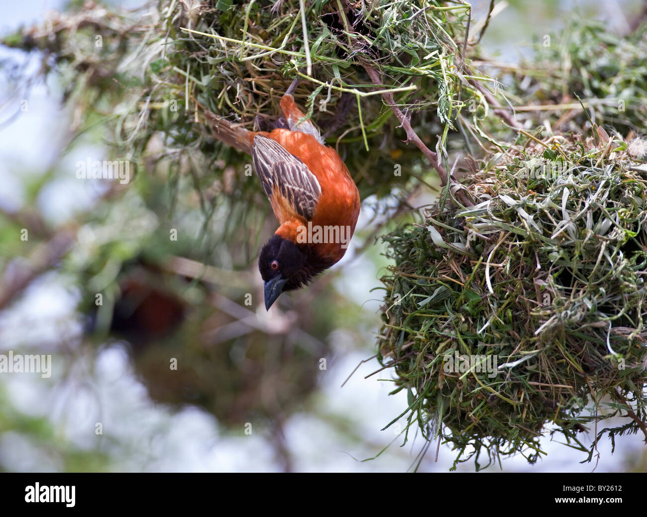 A male Chesnut Weaver pauses while building its nest in an acacia tree on the plains of Tsavo West National Park Stock Photo