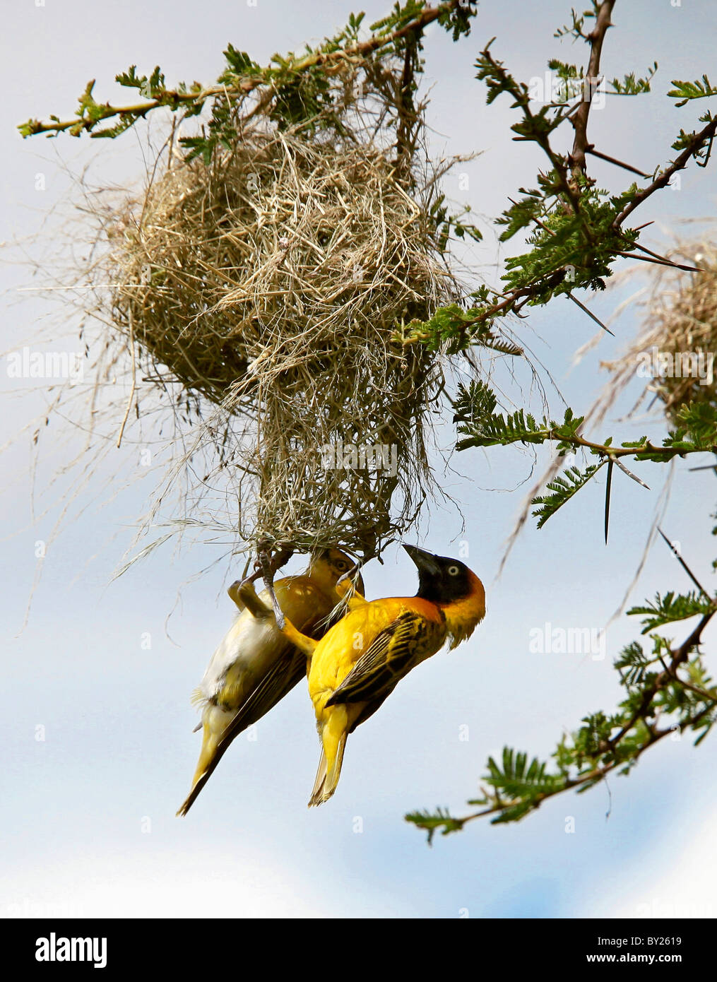 A pair of Lesser Masked weavers build their intricate nest in an acacia tree in Tsavo West National Park during - Stock Image
