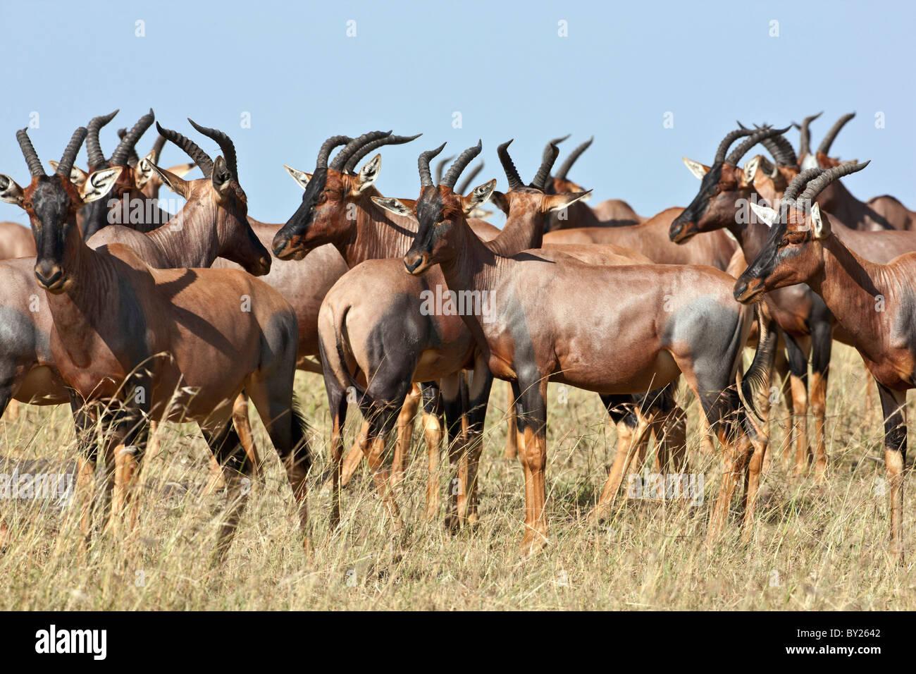 A herd of Topi on the Mara plains. Masai Mara National Reserve - Stock Image