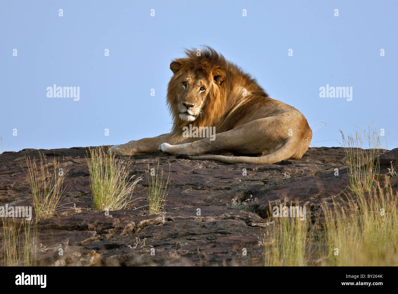 A magnificent lion resting on a large boulder on the Mara Plains. Masai Mara National Reserve - Stock Image