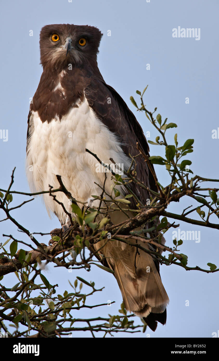 A Black-Chested Snake Eagle perching on a Balanites tree on the Mara Plains. - Stock Image