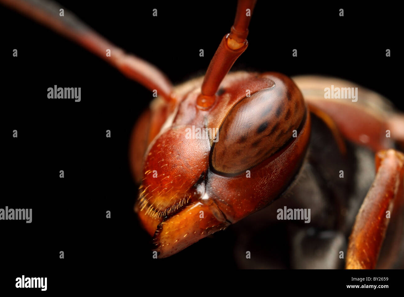 Portrait of a red wasp with 3x magnification - Stock Image