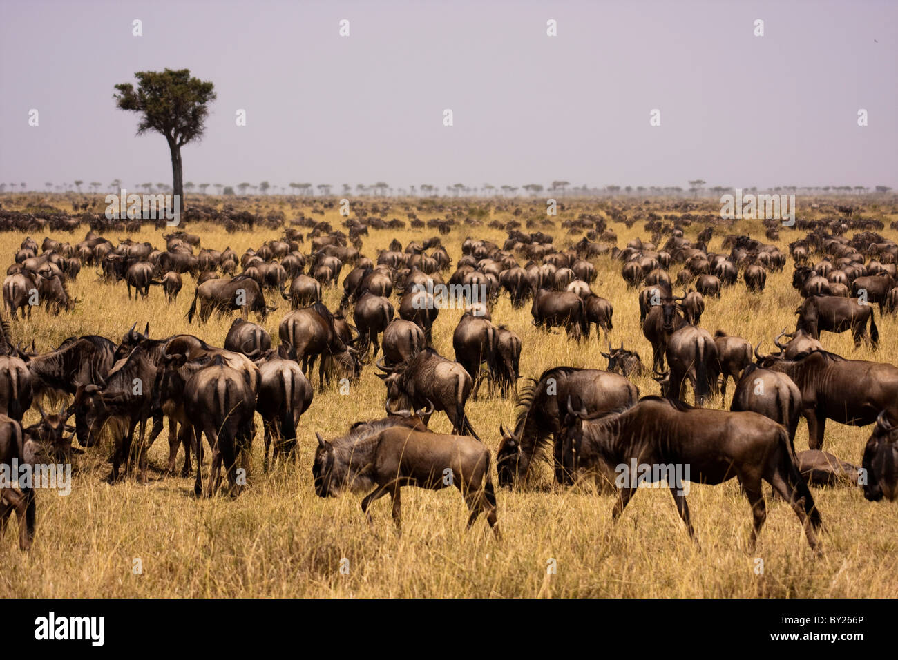 Kenya, Masai Mara.  Wildebeest congregate in their thousands during the migration on the open grassy plains of the Stock Photo