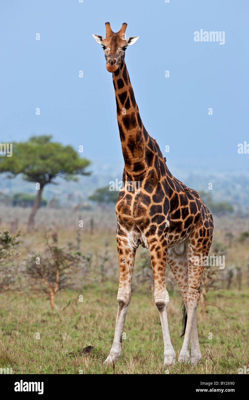 A Rothschild giraffe with fine markings in Ruma National Park. - Stock Image