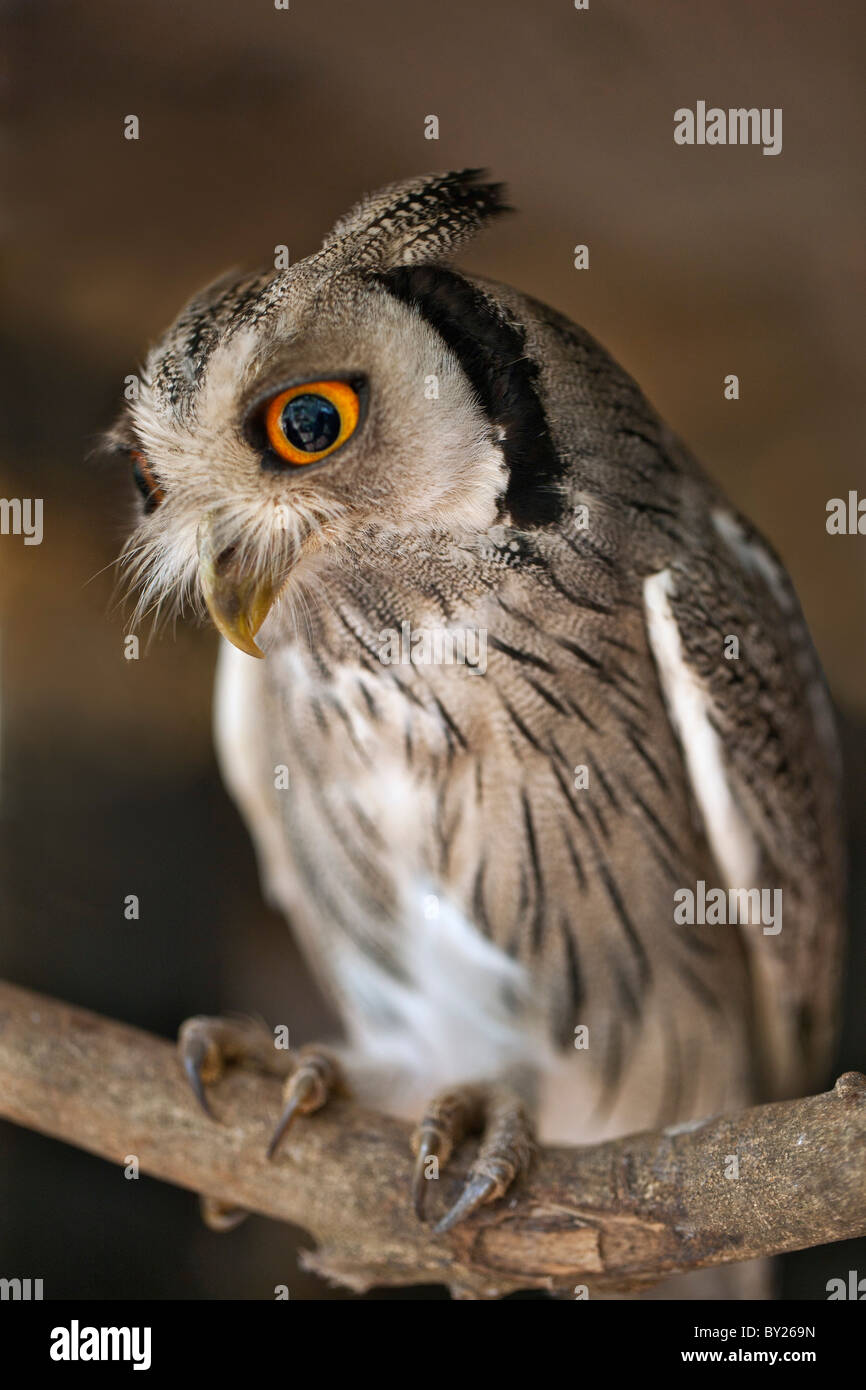 A White-faced Scops-Owl, a species of small owl with ear tufts that are raised when the bird is disturbed. - Stock Image