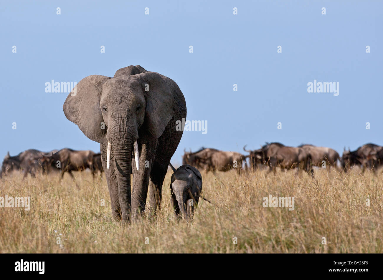 An elephant and her very small calf with a herd of wildebeest in the background. - Stock Image