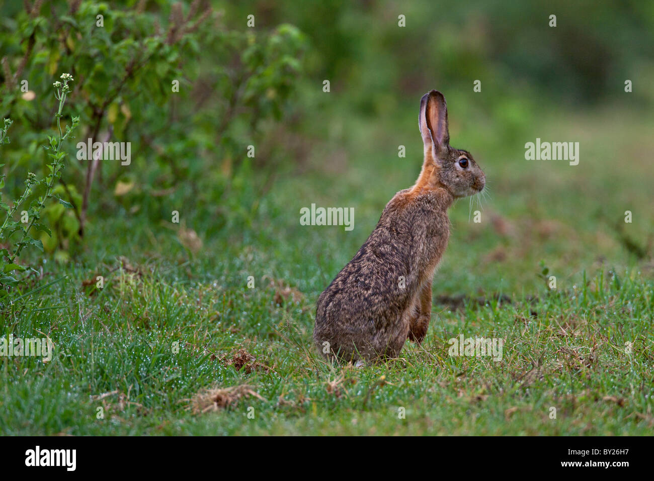 A Scrub Hare pauses on its hind legs in damp grass in the Salient of the Aberdare National Park. - Stock Image