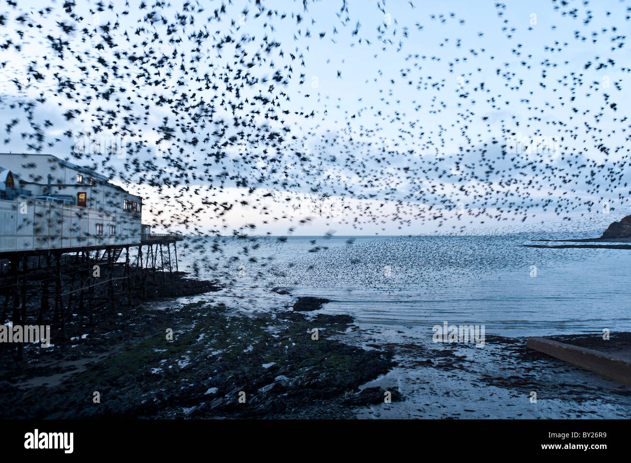 Starlings roosting at Aberystwyth Pier, wales UK Stock Photo