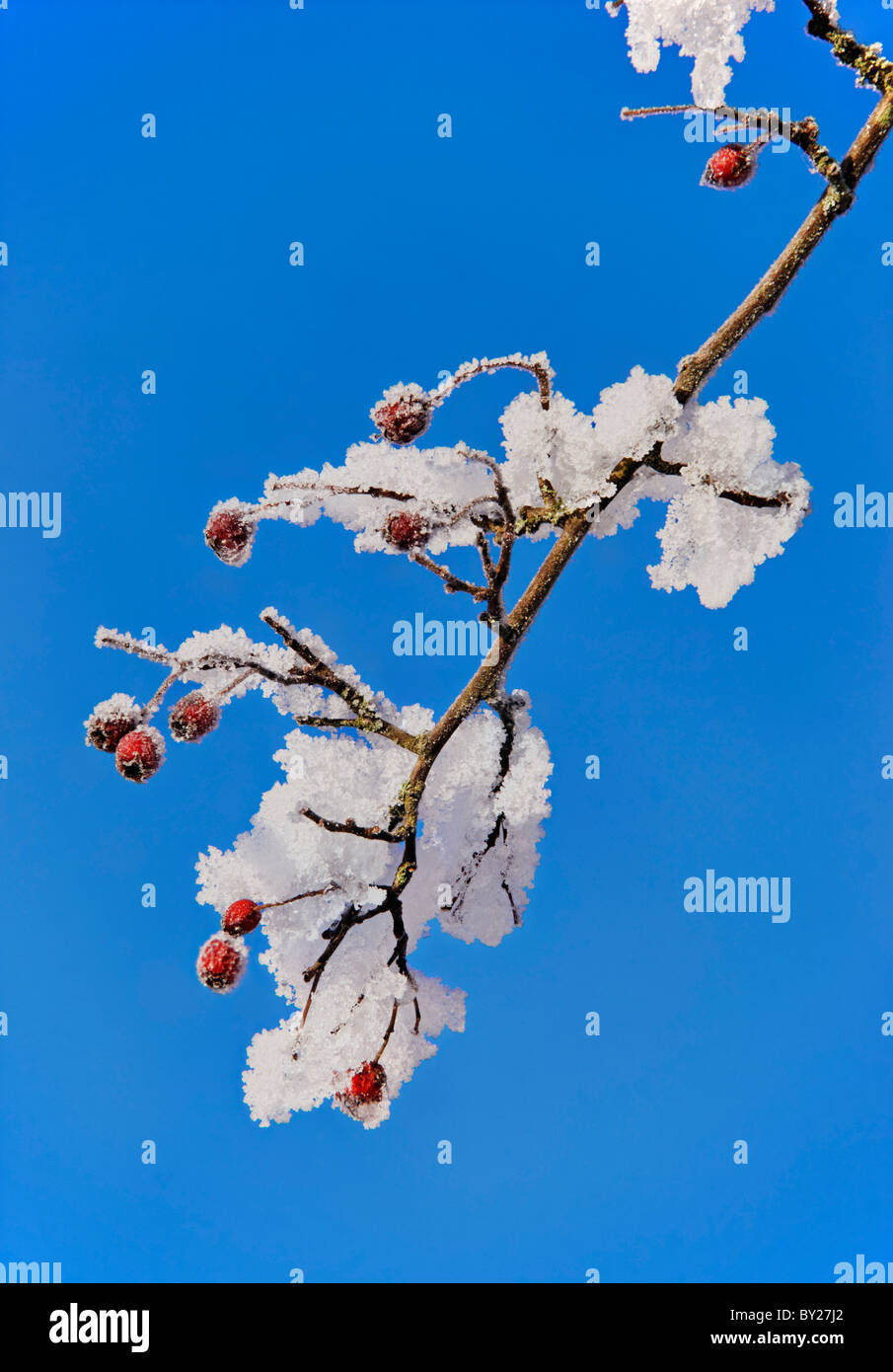 Hawthorn berries and snow set against a blue sky. - Stock Image