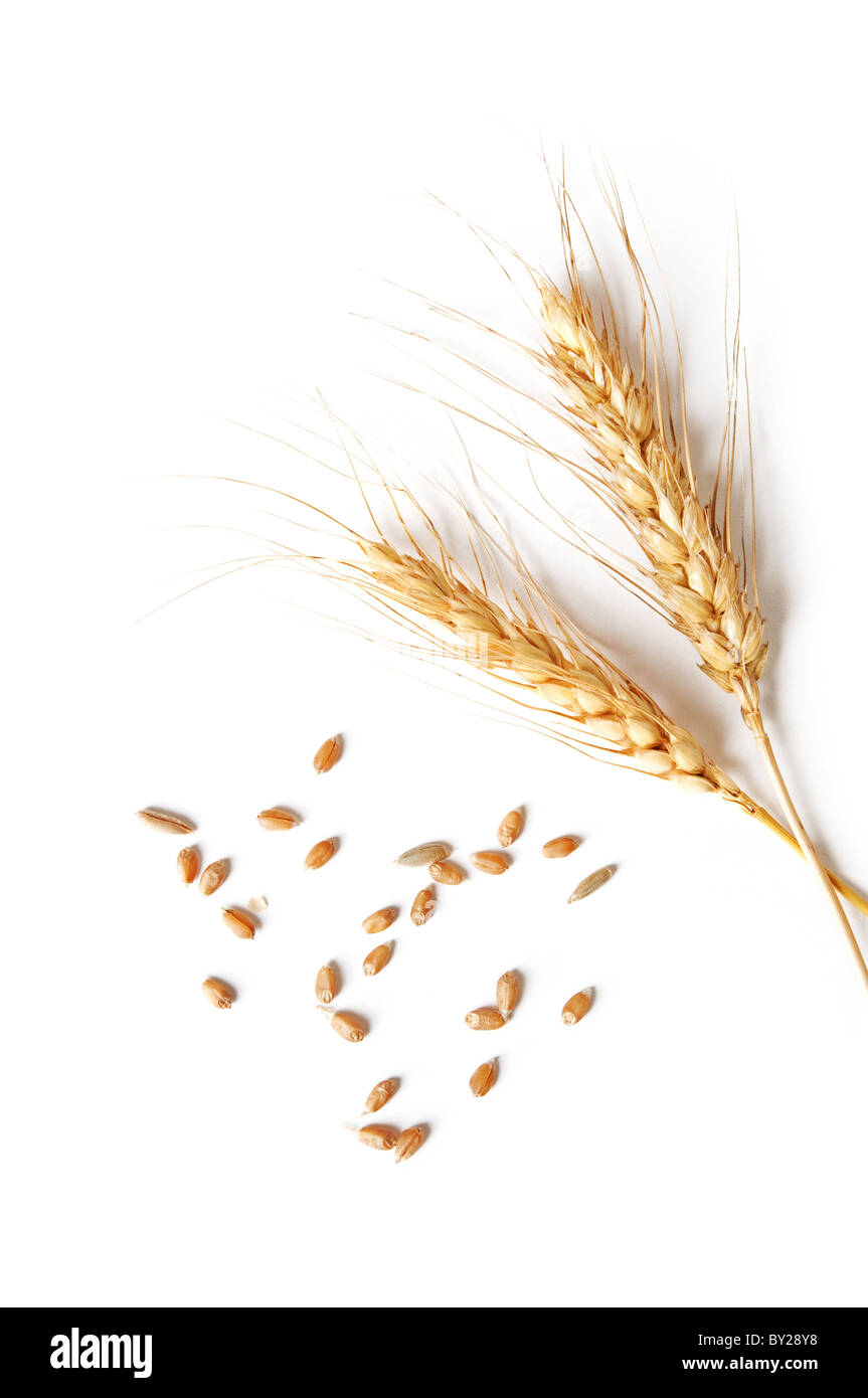 spikelets and grains of wheat on a white background - Stock Image