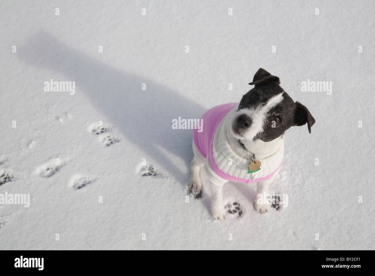 Jack Russell Terrier looking at camera with pink sweater on. - Stock Image