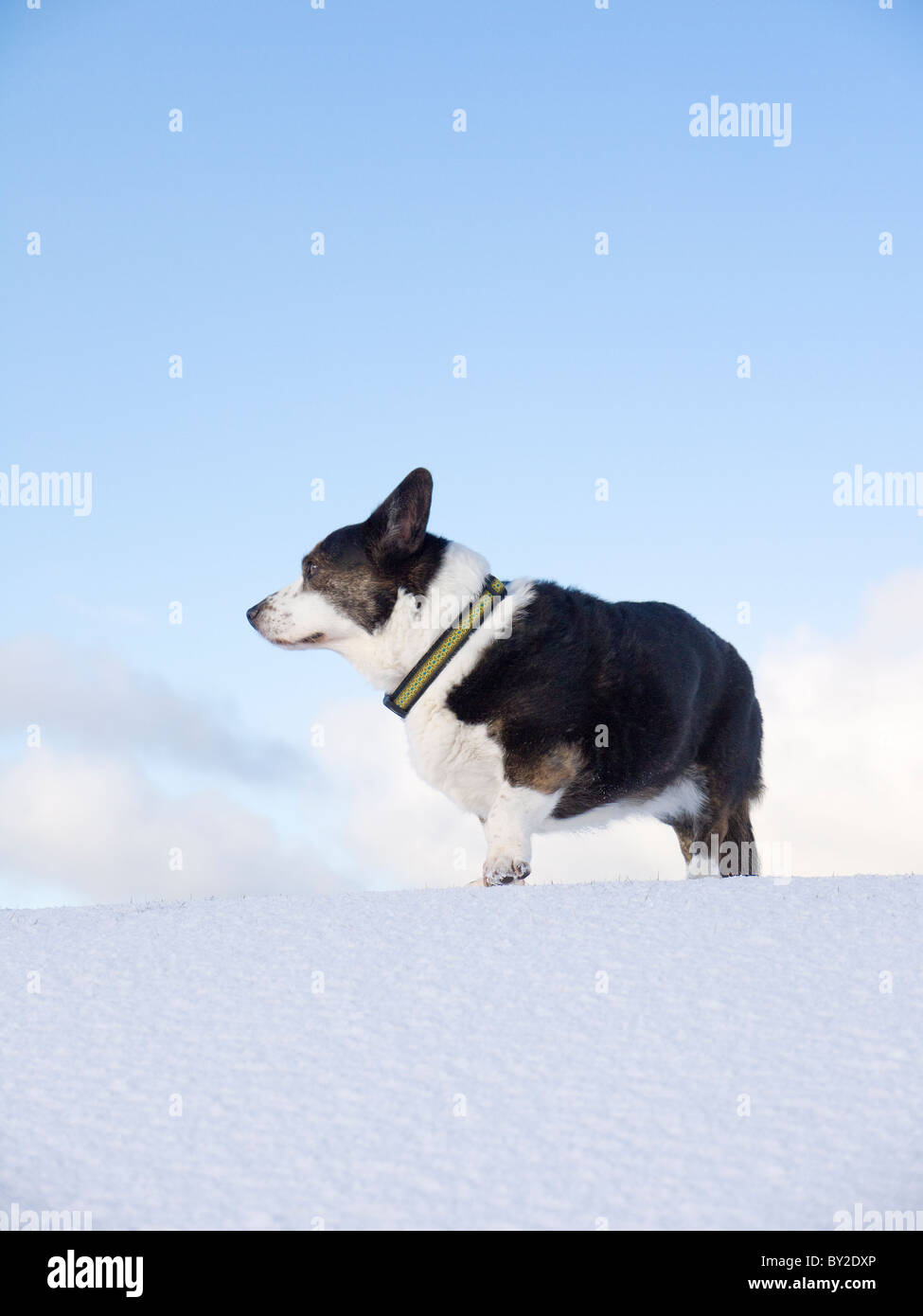 A female cardigan corgi (dog) in the snow in Scotland. - Stock Image