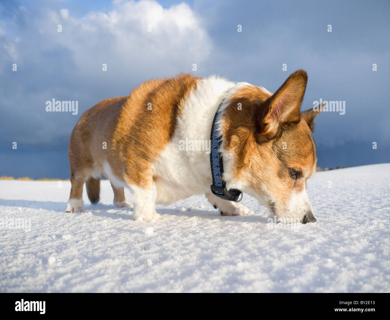 A male cardigan corgi (dog) in the snow in Scotland. - Stock Image