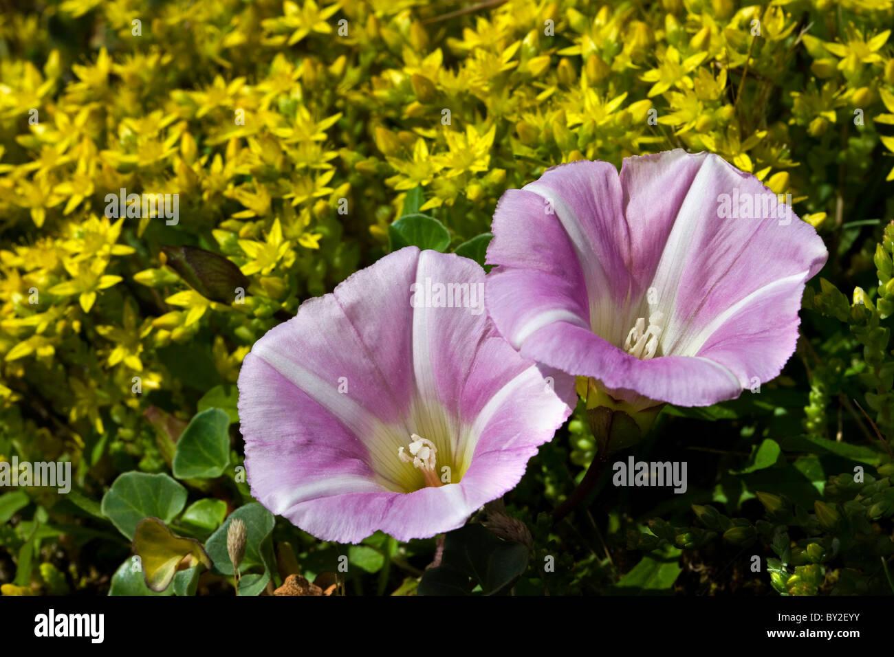 Morning glory (Convolvulus soldanella / Calystegia soldanella) and Biting Stonecrop / Wallpepper (Sedum acre) - Stock Image