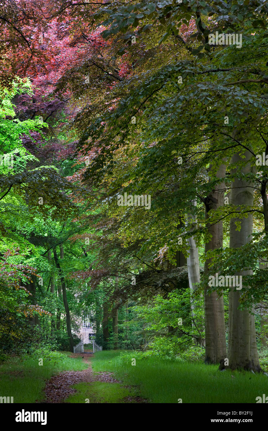 Avenue in beech (Fagus sylvatica) forest in spring, Belgium - Stock Image