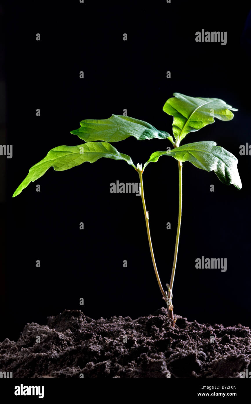 Pedunculate Oak/ English oak (Quercus robur) development stage of sapling, Europe - Stock Image