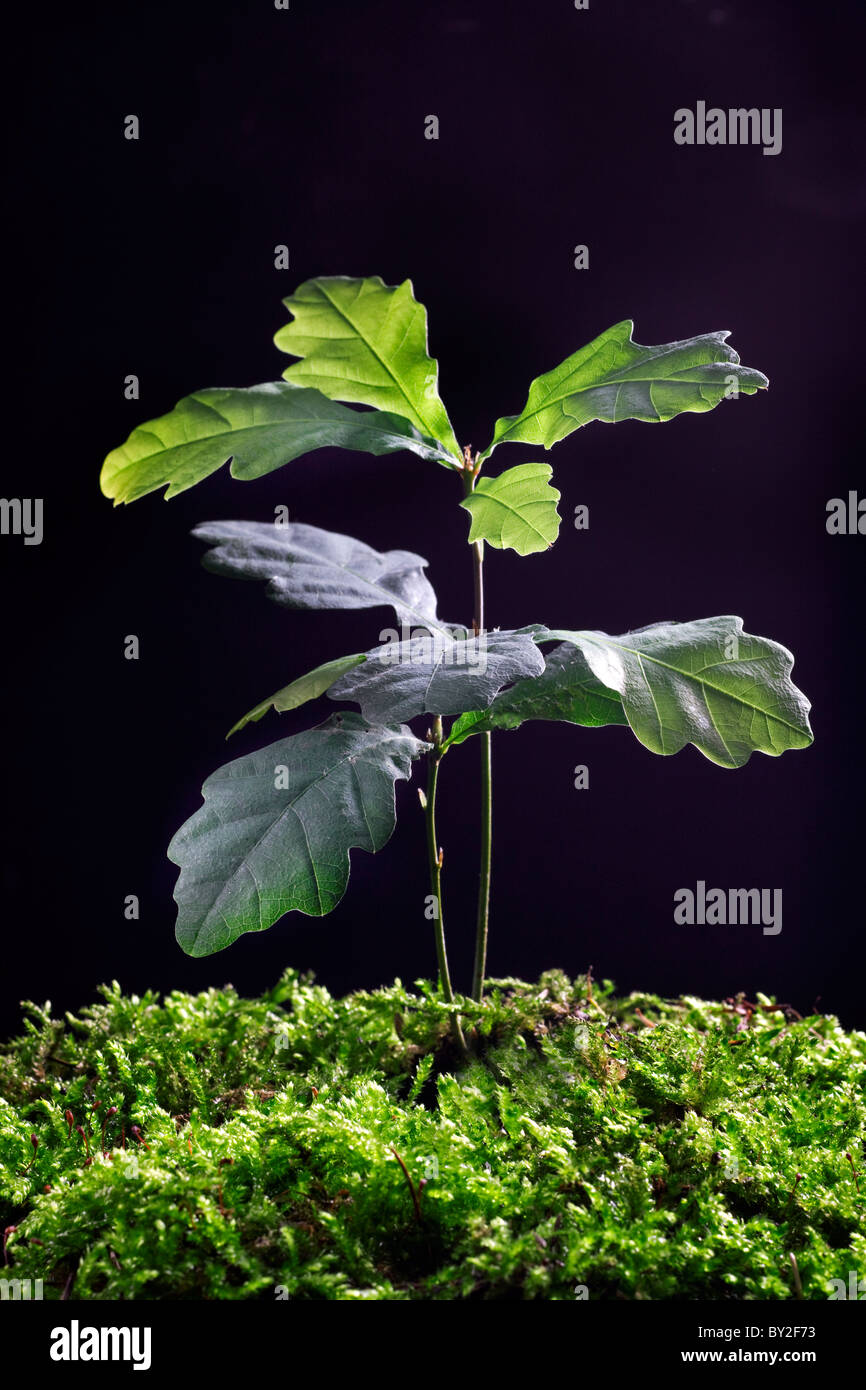 Pedunculate Oak/ English oak (Quercus robur) development stage of sapling, Europe - Stock Image