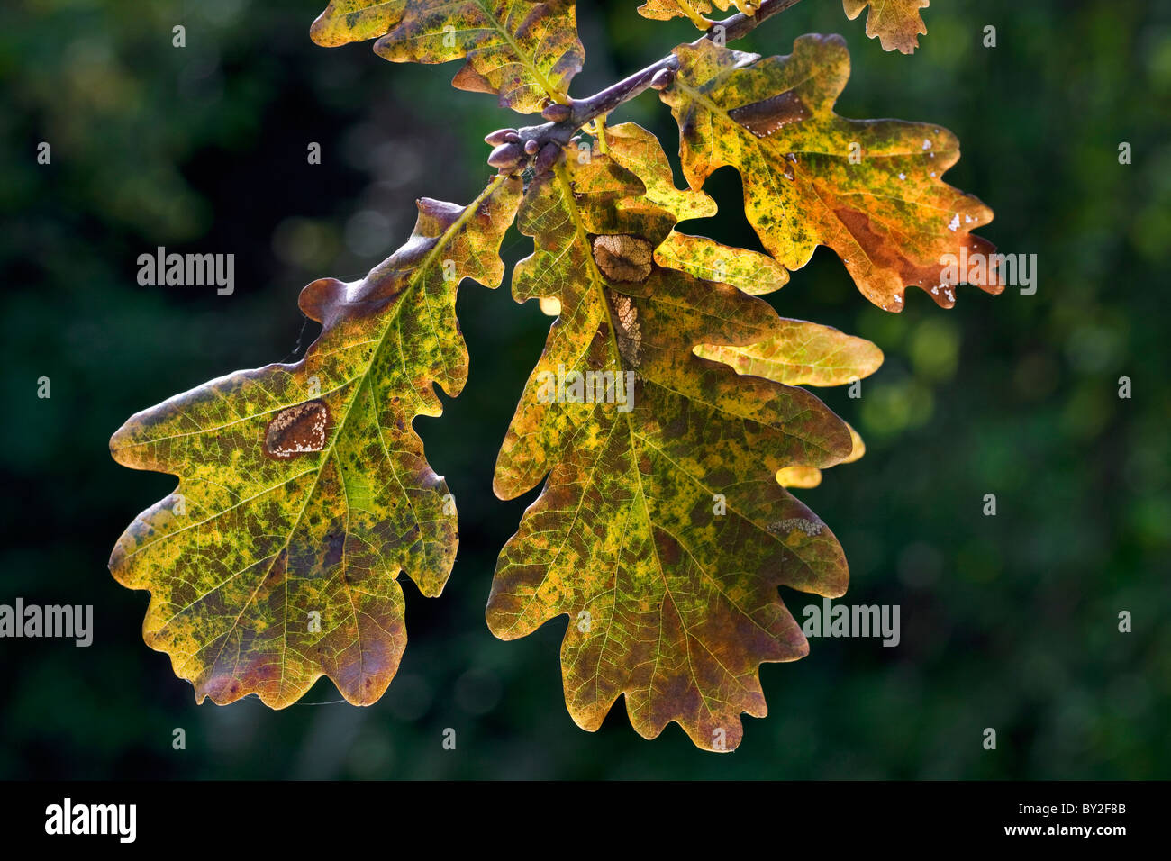 Pedunculate Oak / English oak (Quercus robur) leaves in autumn, Belgium - Stock Image